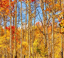Aspen Fall Foliage Portrait Red Gold and Yellow  by Bo Insogna