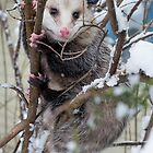 Possum by Steven Ralser