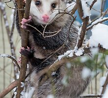 Possum by Steven Ralser