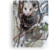 Possum Canvas Print