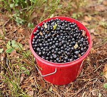 bucket of blueberries by mrivserg