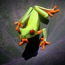 Red Eyed Treefrog by Robbie Labanowski