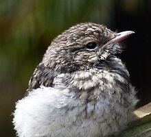 Young Hooded Robin by Margaret Saheed