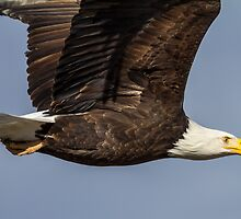 Bald Eagle: Larger than My Frame by John Williams