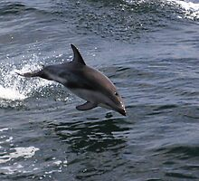 Peale's Dolphin Porpoising by Carole-Anne