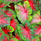 Caladium in Red and Green by Rosalie Scanlon