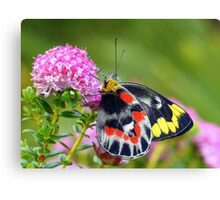 """ Delias harpalyce ""   { Butterfly Marlo } Canvas Print"
