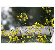 Brightness of Canola  Poster