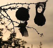 Weaver silhouette  by Michelle Sole