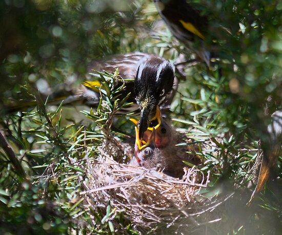 New Holland Honeyeater Feeding  2013 chicks  by Kym Bradley