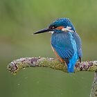 Kingfisher Juvenile by Trevsnature