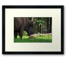 Bison and New Born Calf Framed Print