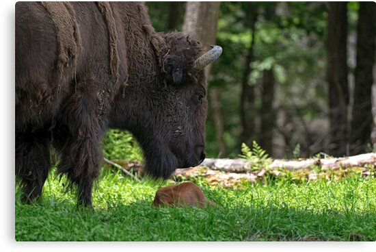 Bison and New Born Calf by Michael Cummings