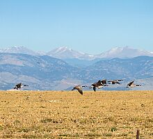 Flying Canadian Geese Rocky Mountains 2 by Bo Insogna