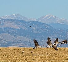 Flying Cackling Geese Colorado Rocky Mountains 1 by Bo Insogna
