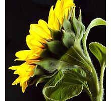 sunflower - side view Photographic Print
