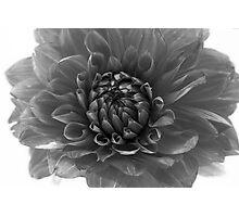 dahlia - monochrome Photographic Print