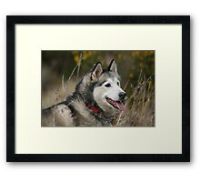 Tazz in the undergrowth Framed Print