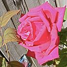 Mr Rose by PDWright