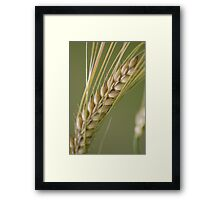 Barley breeze. Framed Print