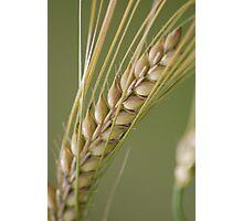 Barley breeze. Photographic Print