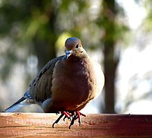 Morning Dove by NaturalGallery
