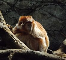 Ebony Langur, Bronx Zoo, Bronx New York by lenspiro