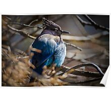 Bluebird in a Thicket Poster