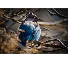 Bluebird in a Thicket Photographic Print
