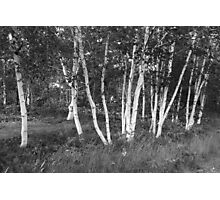 White Birch Trees Photographic Print
