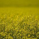 Field Of  Dreams  Canola  NSW  Australia  by Kym Bradley