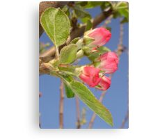 Spring Apple Blossom Flowers  Canvas Print