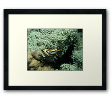 Nudibranch, Egypt Framed Print