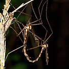 Giant Eastern Crane Fly by DigitallyStill