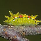 Spiny Oak Slug Moth Caterpillar by DigitallyStill