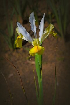 Yellow/White Iris by Elaine Teague