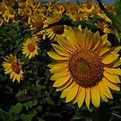 Sunflower by AravindTeki