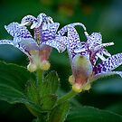 Toad Lily in Autumn by Victoria Jostes