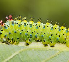Hyalophora Cecropia Moth Caterpillar  by DigitallyStill