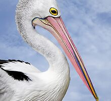 Portrait of a pelican 2 by Jan Pudney