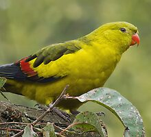 Regent parrot 2 by Jan Pudney