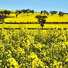 A Sea of Yellow - Burley Griffen Way NSW Australia by Bev Woodman