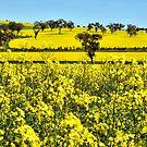 A Sea of Yellow - Burley Griffen Way NSW Australia by Bev Woodman