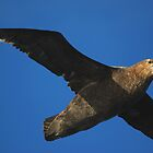 Giant Petrel Flying High by Carole-Anne