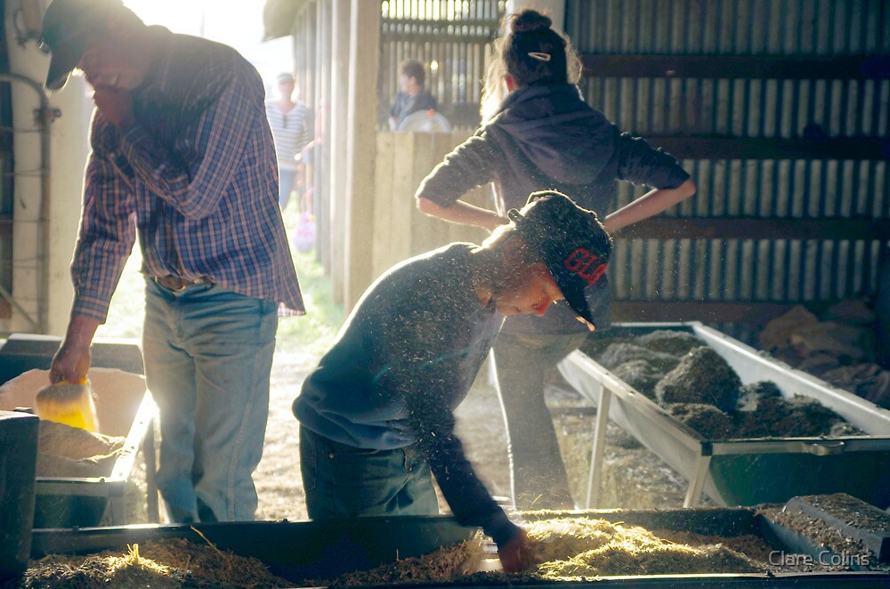 Working in the feed shed by Clare Colins