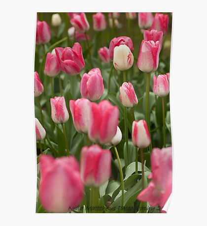 Tulips ........ Poster