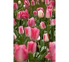 Tulips ........ Photographic Print