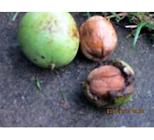 three stages of my walnuts Photographic Print