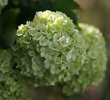 Snowball Flowers by Joy Watson