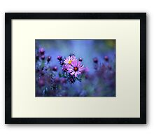 Evening Asters Framed Print